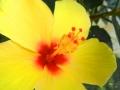 Offene Blüte eines gelben Hibiskus